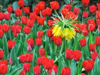 Are Tulips Poisonous to Chickens?
